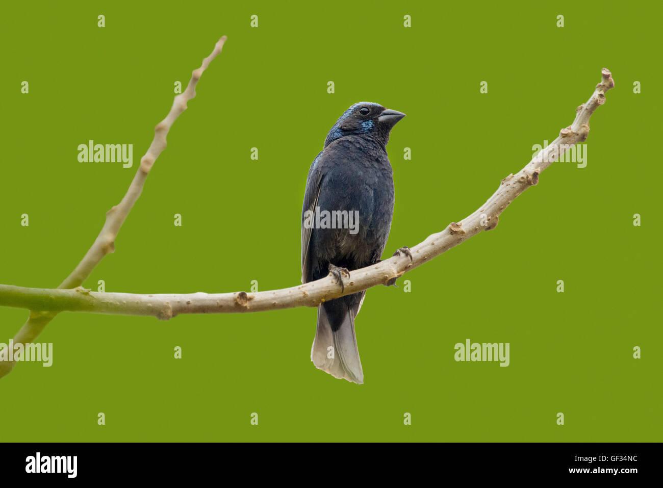 Blue Bunting  Cyanocompsa parellina west of El Tuito, Jalisco, Mexico 13 June      Adult Male      Cardinalidae - Stock Image