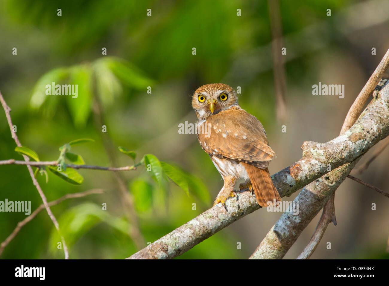 Ferruginous Pygmy-Owl Glaucidium brasilianum El Tuito, Jalisco, Mexico 13 June      Adult       Strigidae - Stock Image