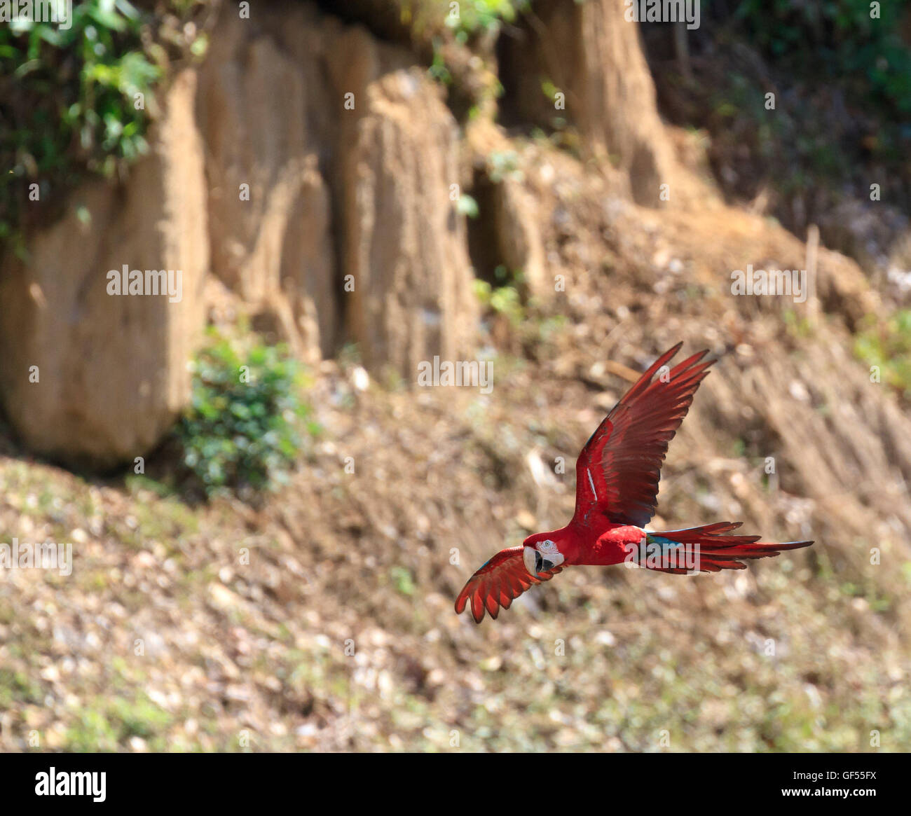 Red and Green Macaw, Blanquillo Clay Lick, Manú National Park, Peru - Stock Image