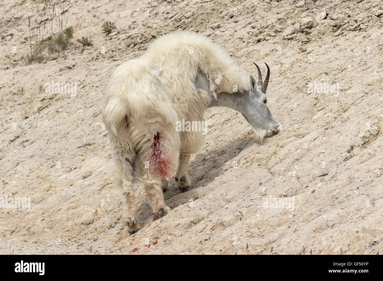 Mountain Goat nanny with bloody wound after fighting - Stock Image