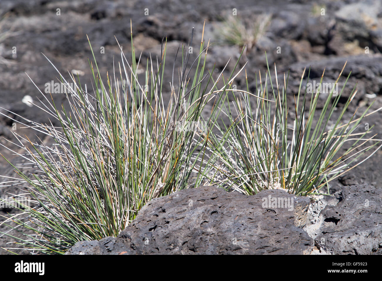Volcanic landscape at Pico island with endemic flora - Stock Image