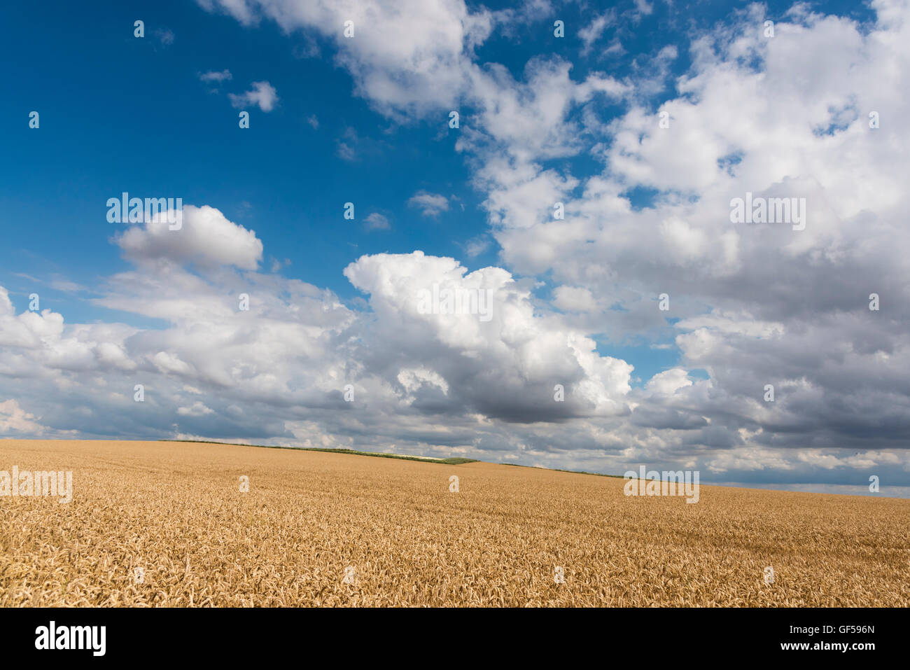 A landscape of wheat field with cumulus clouds and sunshine in Cambridgeshire East Anglia UK - Stock Image