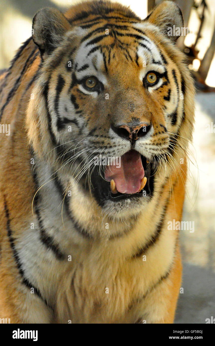 Siberian Tiger is  the world's biggest cat, natural of Russia and  is one of the endangered species on planet - Stock Image