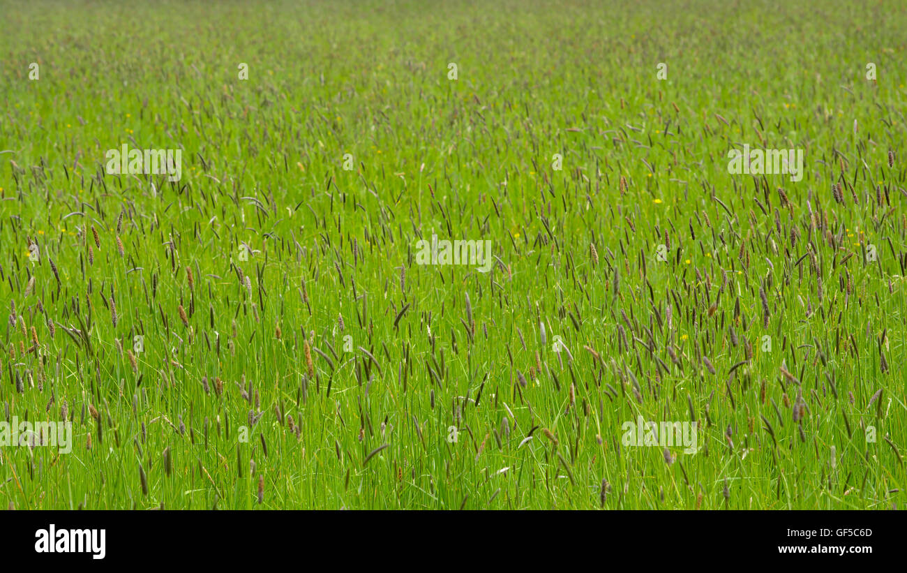 Background  of flowering sedge plants (Cyperaceae) in a meadow, selective DOF - Stock Image