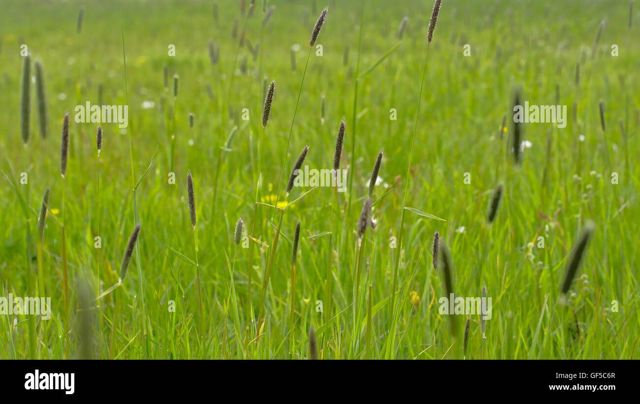Background of grass and flowering sedge plants (Cyperaceae) - Stock Image