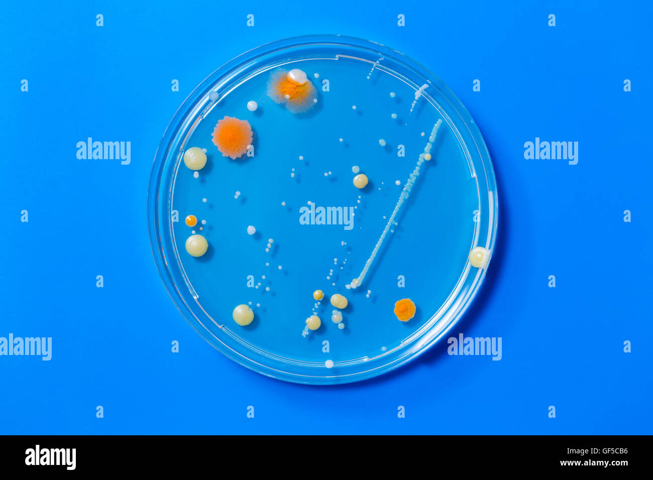 Petri dishes with colonies of pathogenic organisms - Stock Image