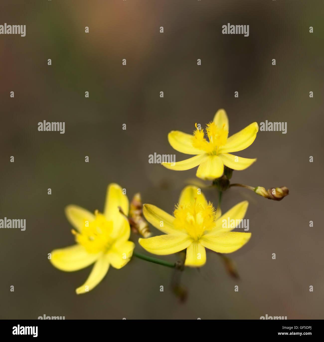 Australian lily flower stock photos australian lily flower stock pring yellow rush lily australian wildflower tricoryne simplex flower background stock image izmirmasajfo