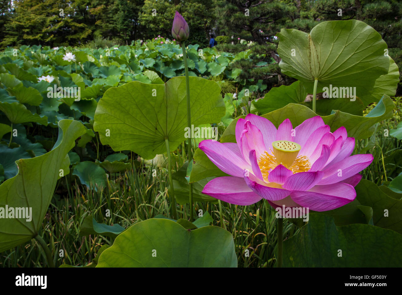 The lotus flower grows out of muddy ponds and display pink or white the lotus flower grows out of muddy ponds and display pink or white flowers that survive for only a few days in summer mightylinksfo