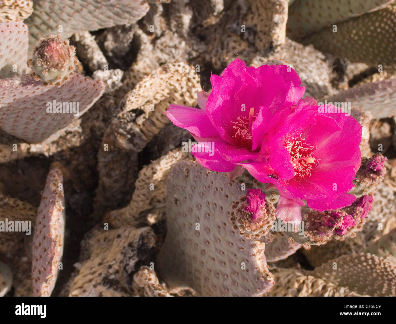 The Englemann's hedgehog, or  Echinocereus engelmannii. Commonly known as the Santa's cactus or the strawberry cactus. - Stock Image