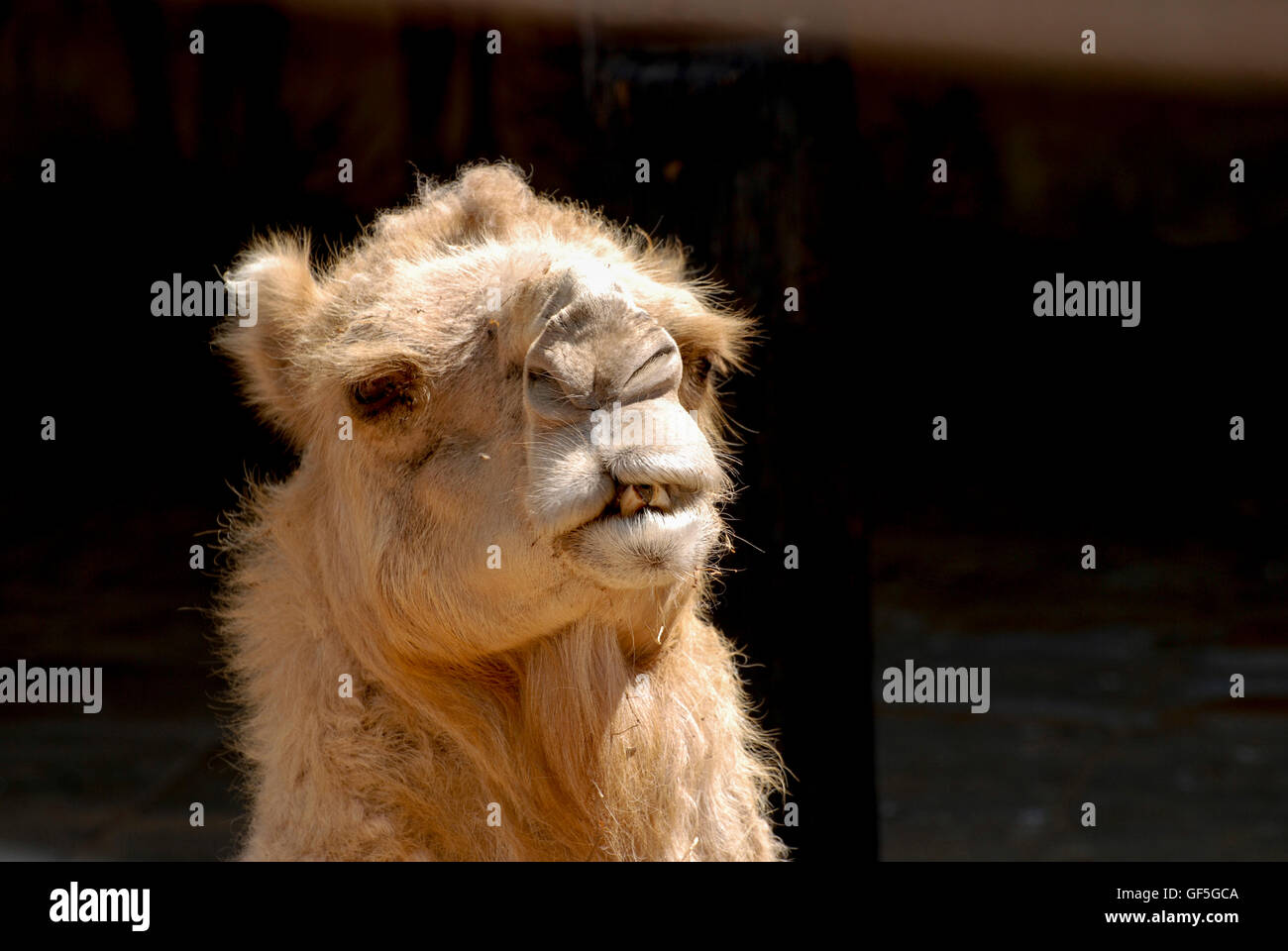 Close up of a head of a camel on black background facing camera - Stock Image