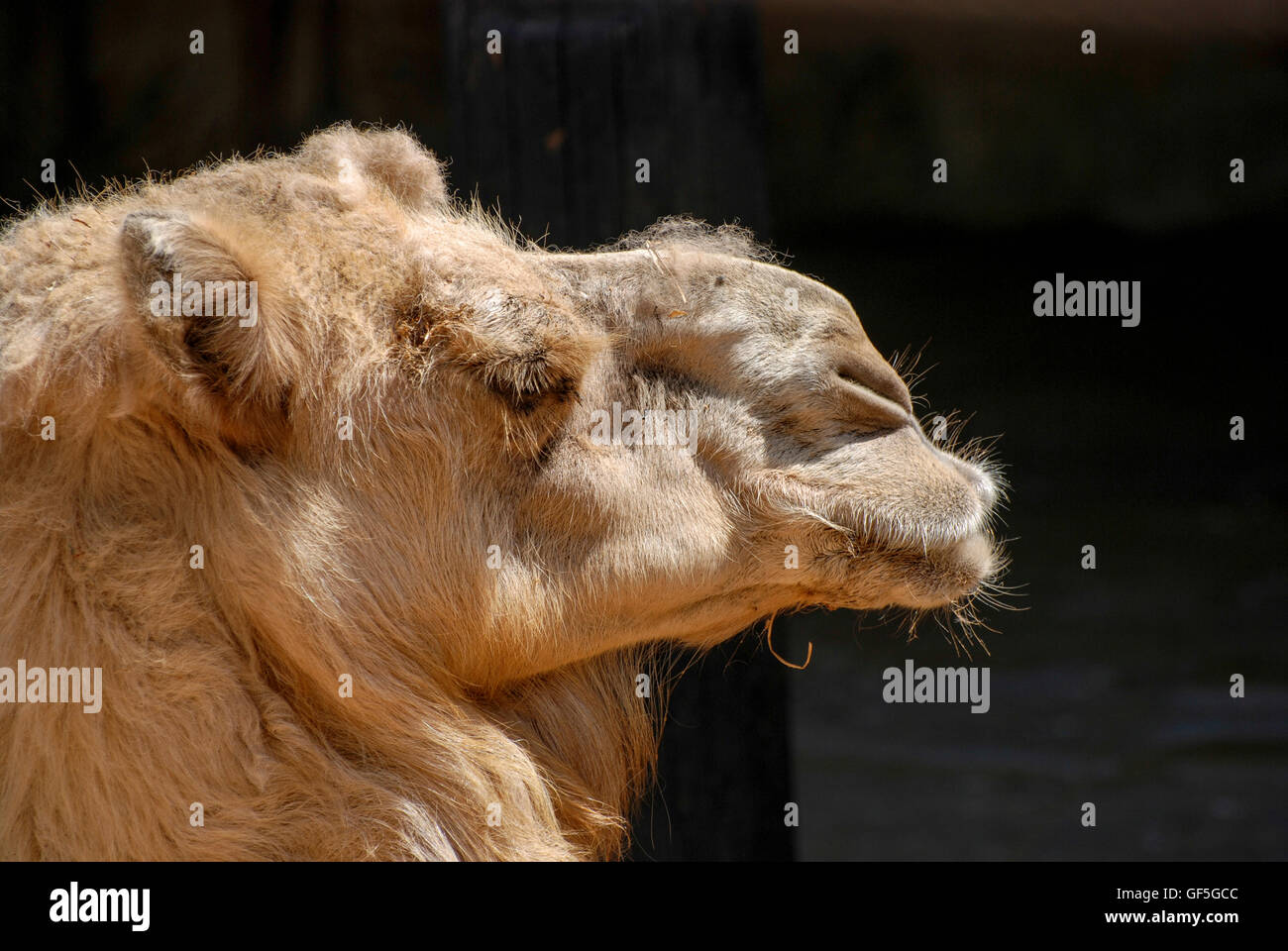 Close up of a head of a camel on black background. Looking right - Stock Image