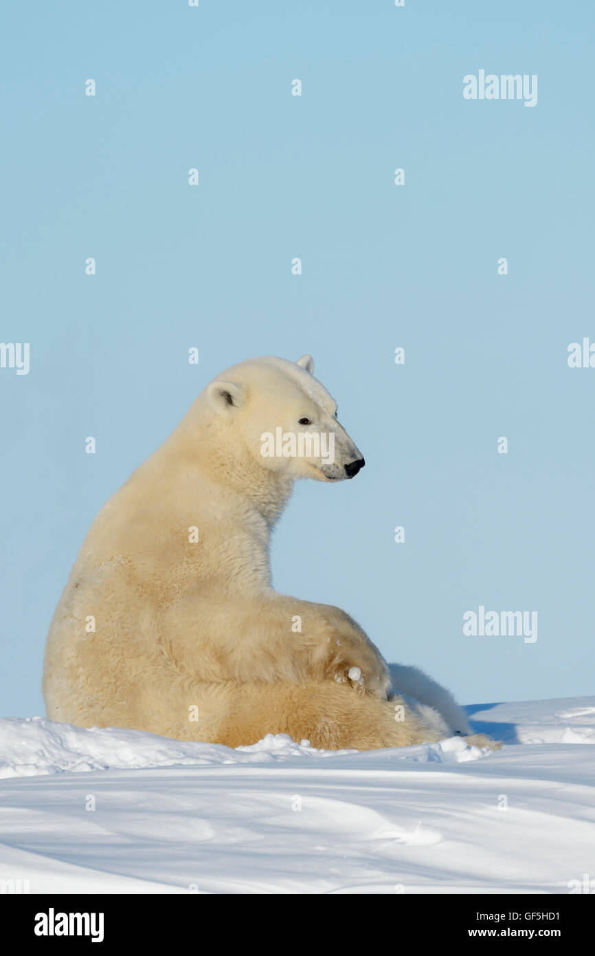 Polar bear mother (Ursus maritimus) nursing and feeding two cubs, Wapusk National Park, Manitoba, Canada Stock Photo