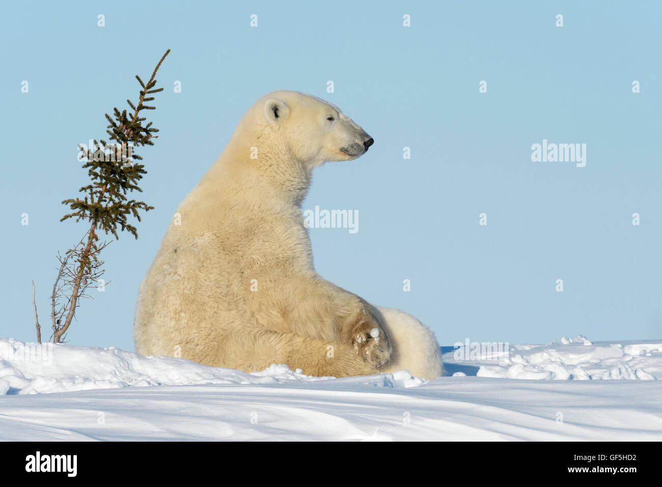 Polar bear mother (Ursus maritimus) nursing and feeding two cubs, Wapusk National Park, Manitoba, Canada - Stock Image