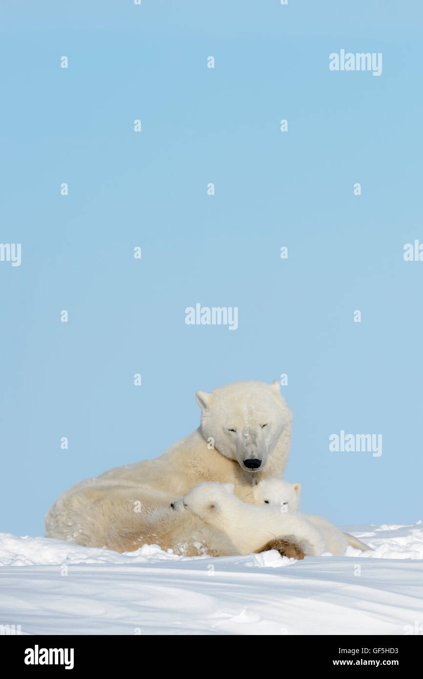 Polar bear mother (Ursus maritimus) lying down on tundra with two cubs, Wapusk National Park, Manitoba, Canada - Stock Image