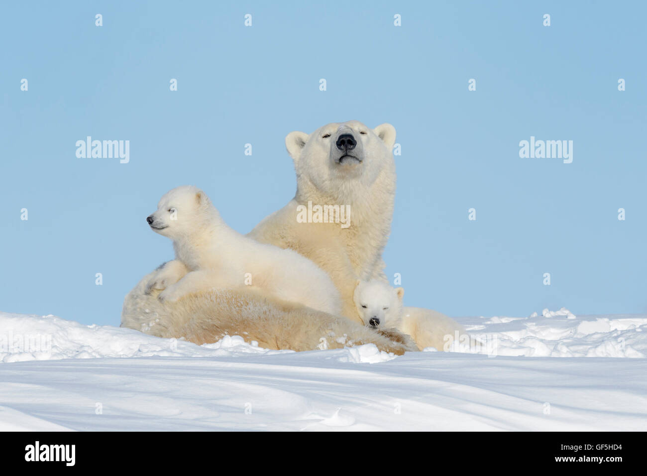 Polar bear mother (Ursus maritimus) lying down on tundra, looking at camera, with two cubs, Wapusk National Park, - Stock Image