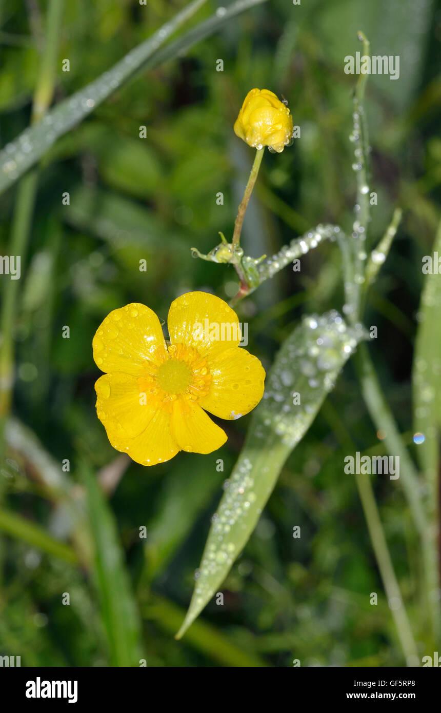 Greater Spearwort - Ranunculus lingua Large Waterside Buttercup - Stock Image