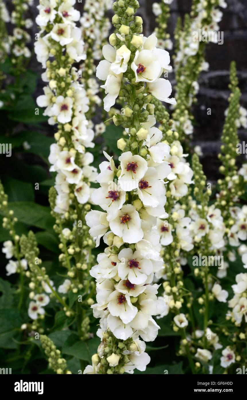 Tall White Flowers Choice Image Fresh Lotus Flowers