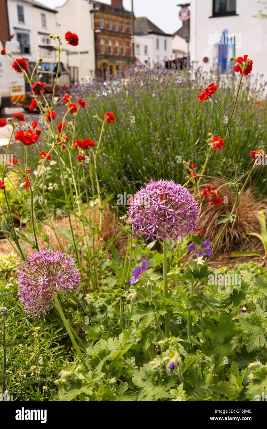 UK, England, Devon, Honiton, High Street, allium flowers amongst floral planting outside St Paul's church - Stock Image