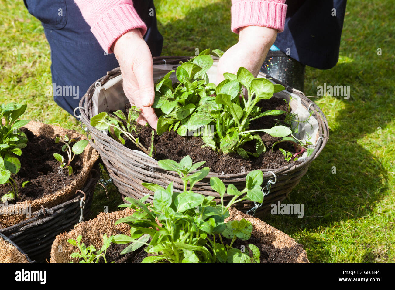 Elderly woman planting hanging baskets with colourful summer plants using plug plants - Stock Image