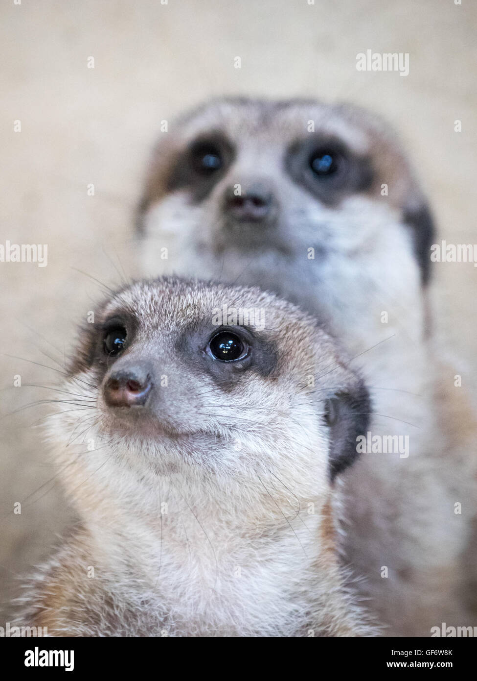 A meerkat (Suricata suricatta) pair, in captivity at the Calgary Zoo in Calgary, Alberta, Canada. - Stock Image