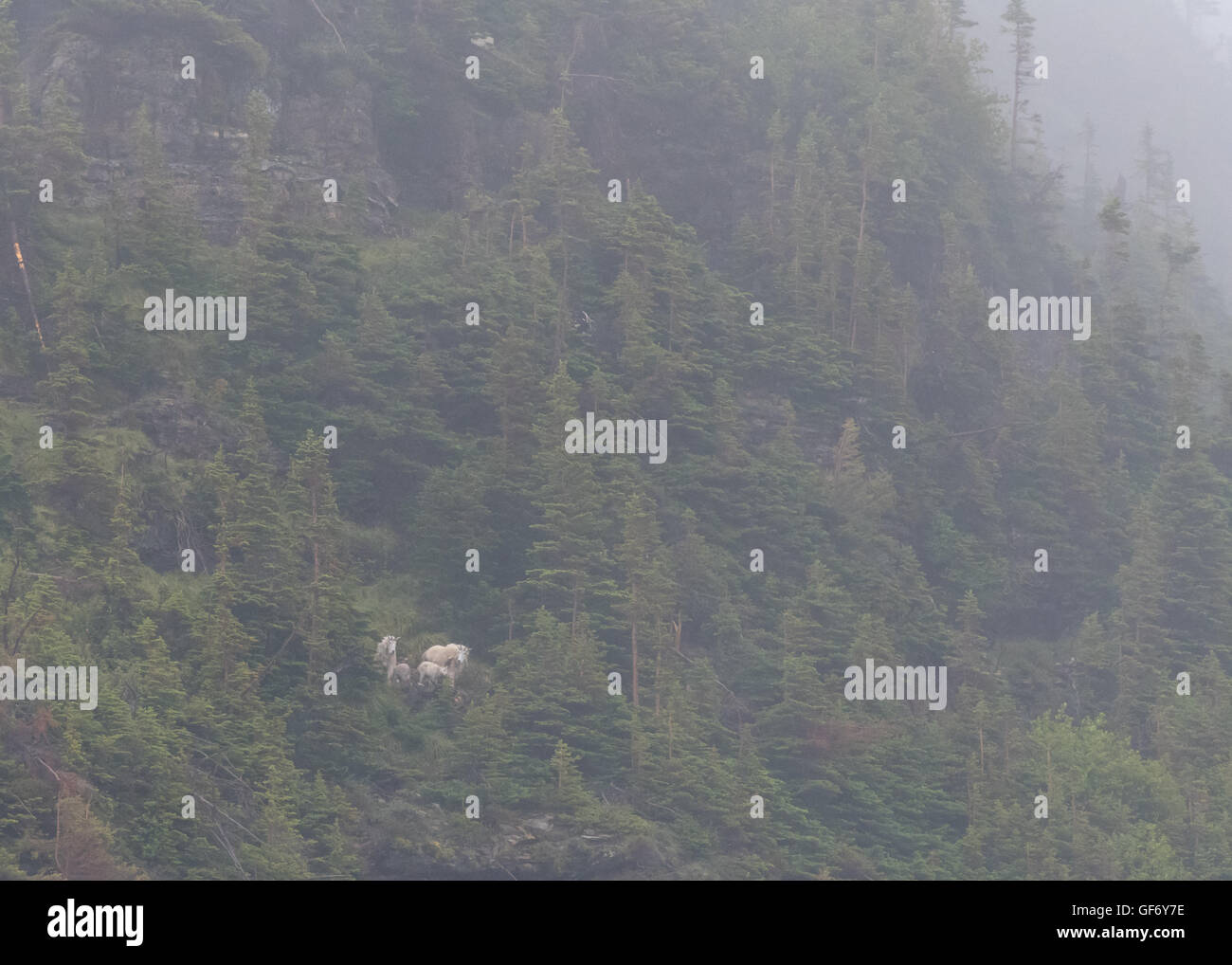 Family of Mountain Goats Look Toward Camera from Foggy Cliff Above - Stock Image