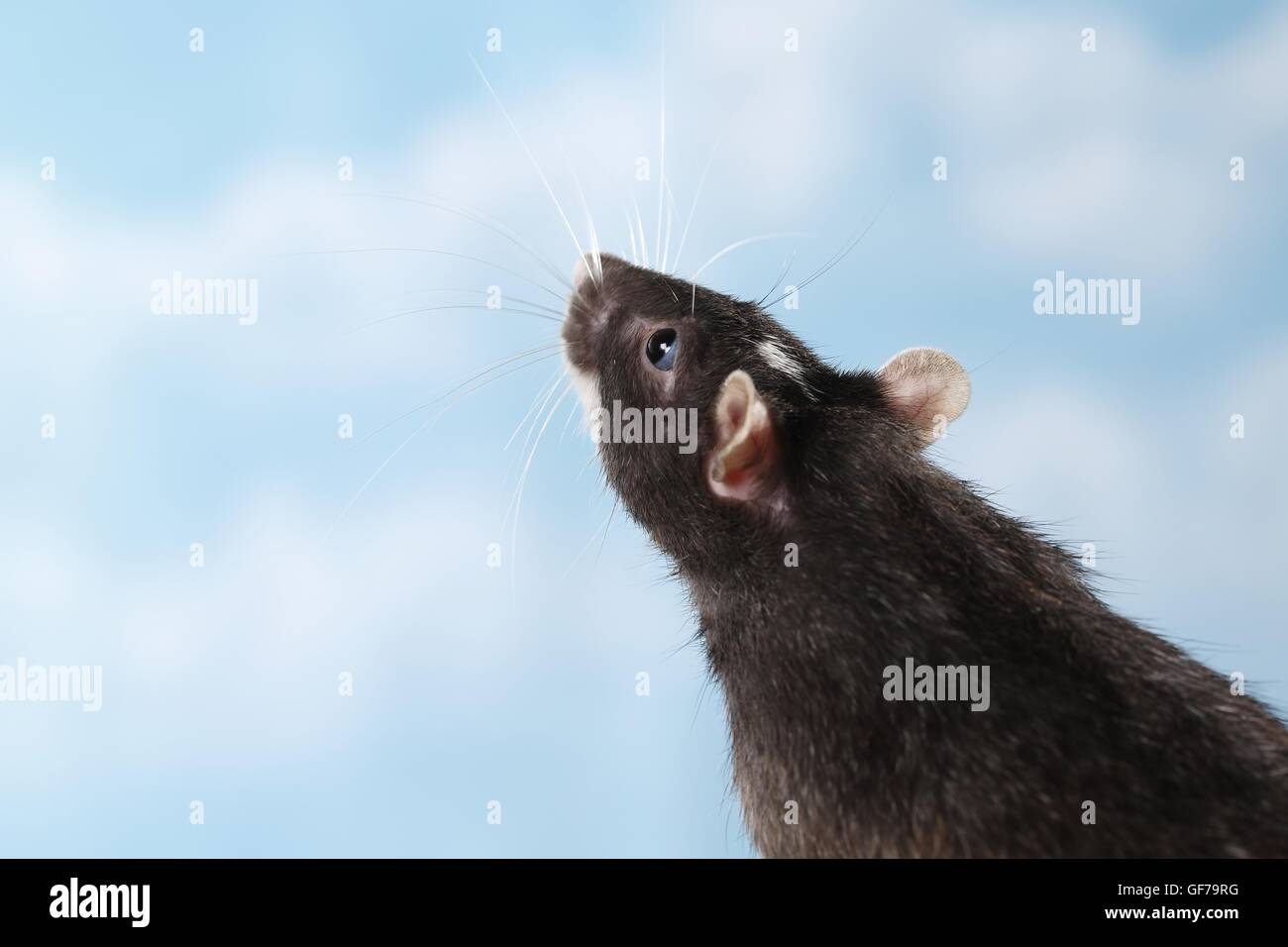 rat portrait - Stock Image