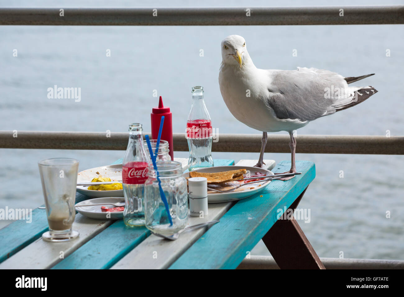 Seagull standing on table with left over breakfast at outdoor cafe at Swanage seafront, Dorset in July - Stock Image