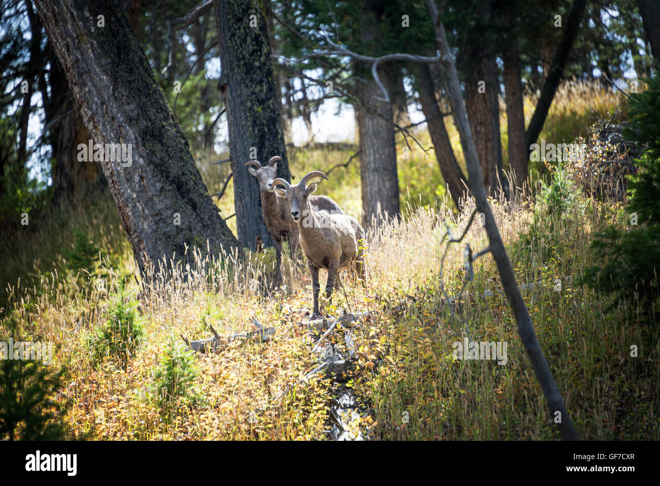 Two female Bighorn Sheep in Yellowstone National Park Stock Photo