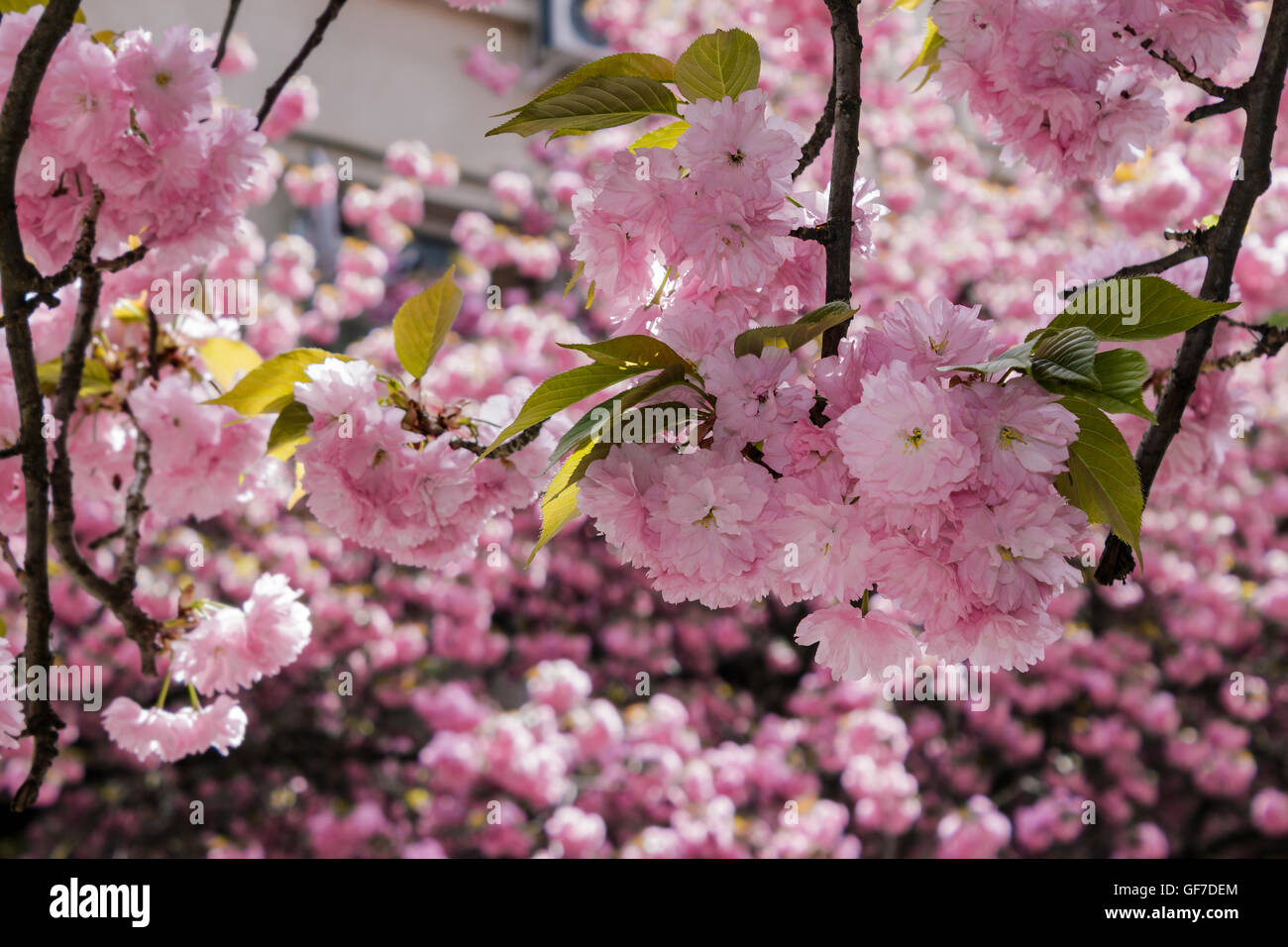 Delicate Pink Flowers Blossomed Japanese Cherry Trees On Blur Stock