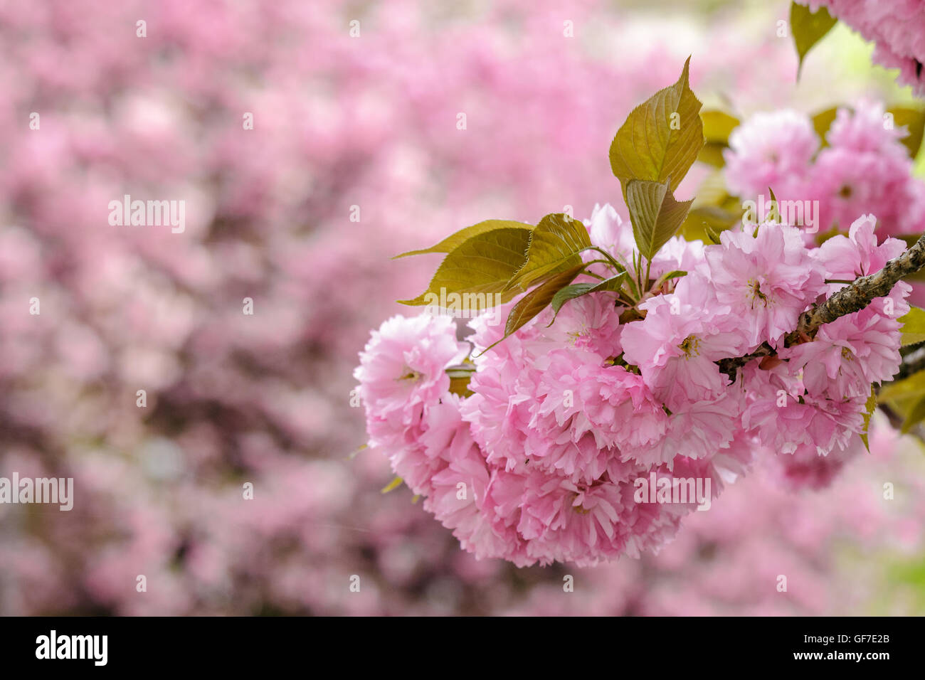 Delicate Pink Flowers Blossomed On Japanese Cherry Trees Stock Photo