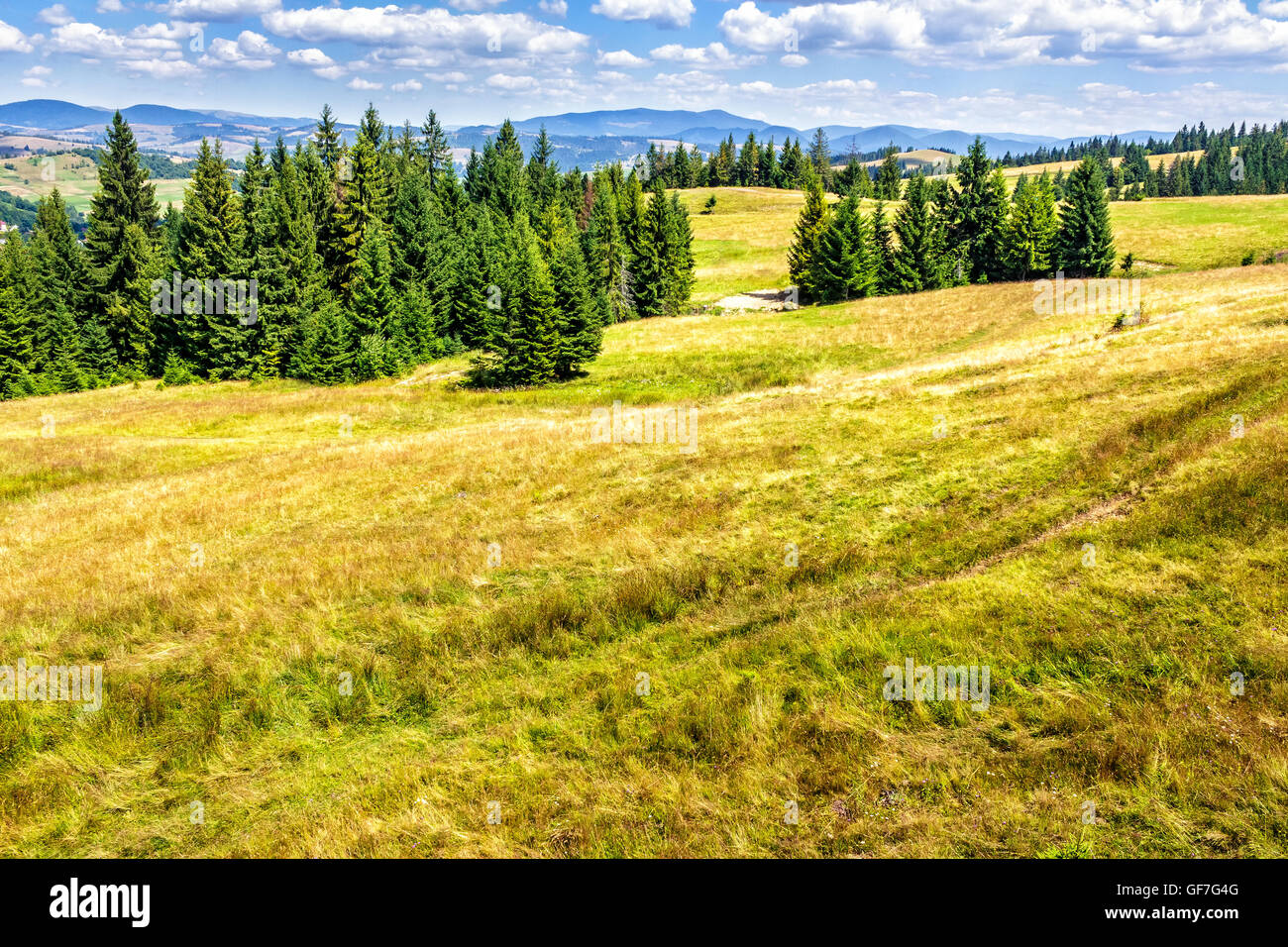 spruce forest on the edge of the hill in Carpathian mountains Stock Photo