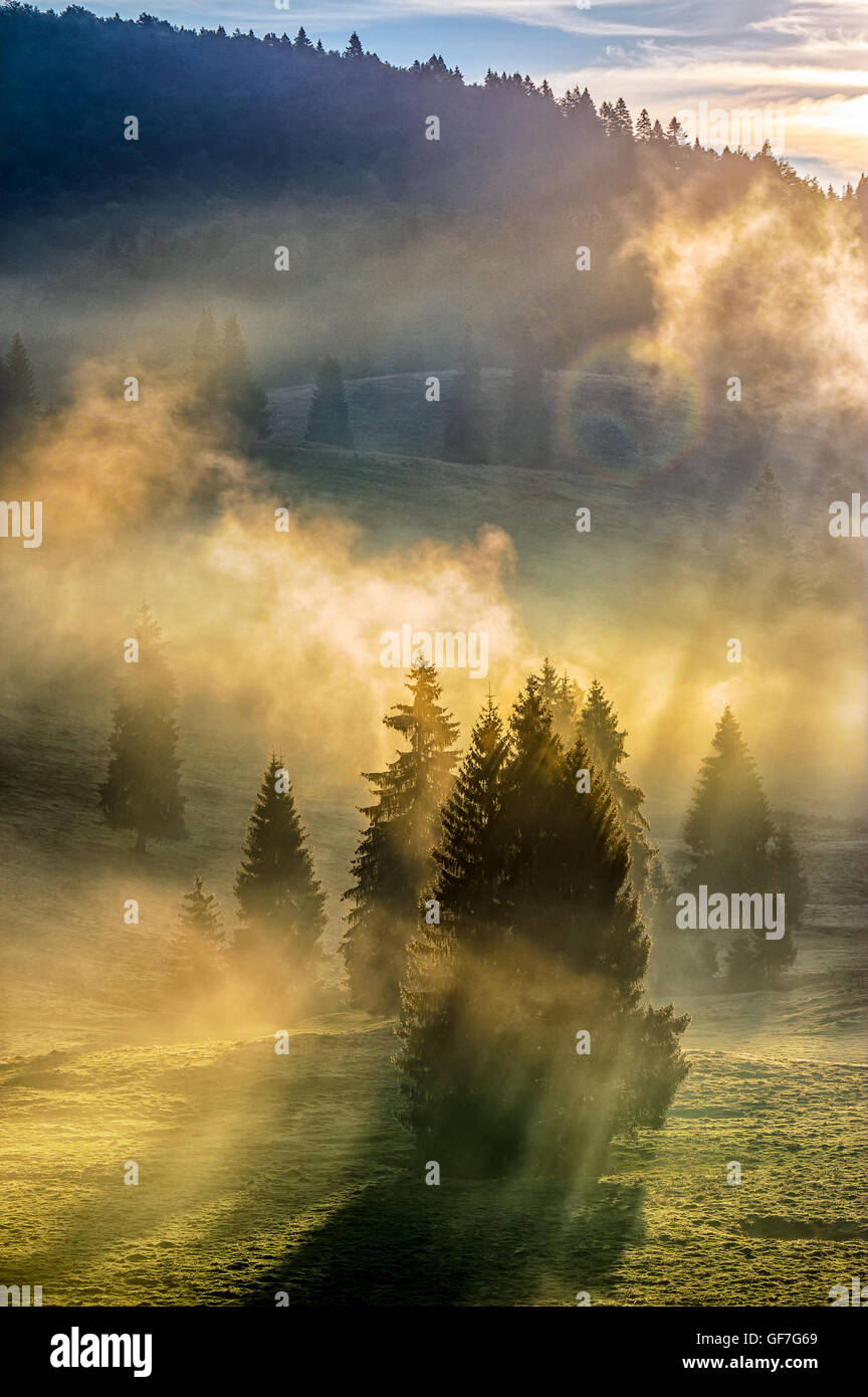 morning fog in conifer forest in warm sun light Stock Photo