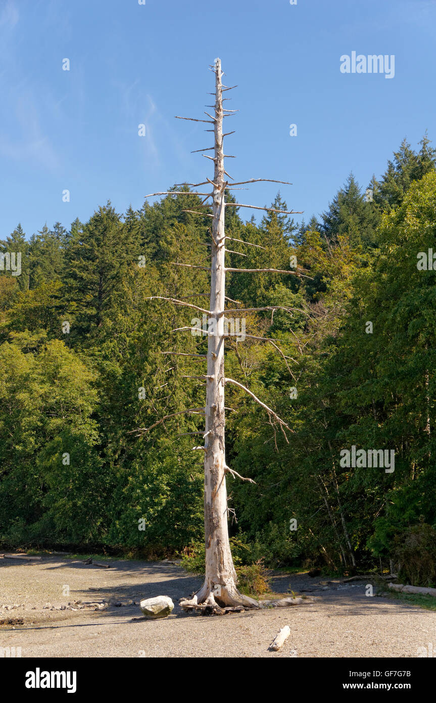 Lone dead coniferous tree on a rocky beach, Bowen island, British Columbia, Canada - Stock Image