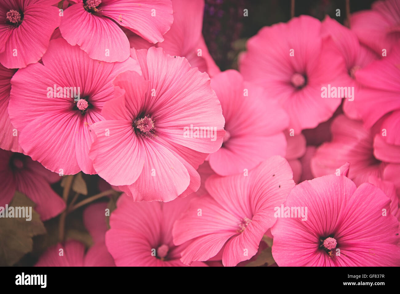 Lavatera silver cup is a hardy annual with pink cup shaped flowers lavatera silver cup is a hardy annual with pink cup shaped flowers at hampton court flower show in surrey england izmirmasajfo