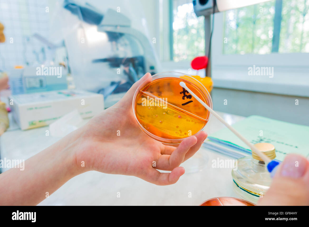 Scientist picks up bacterial colonies for cloning of transgenic vector into plasmid DNA - Stock Image