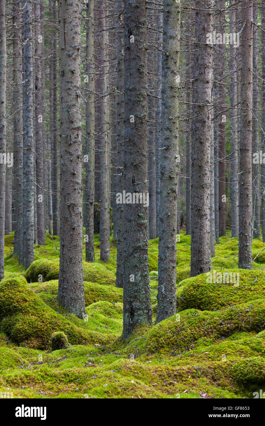 Norway spruces / European spruce (Picea abies) tree trunks covered in lichen in coniferous forest with moss carpet - Stock Image