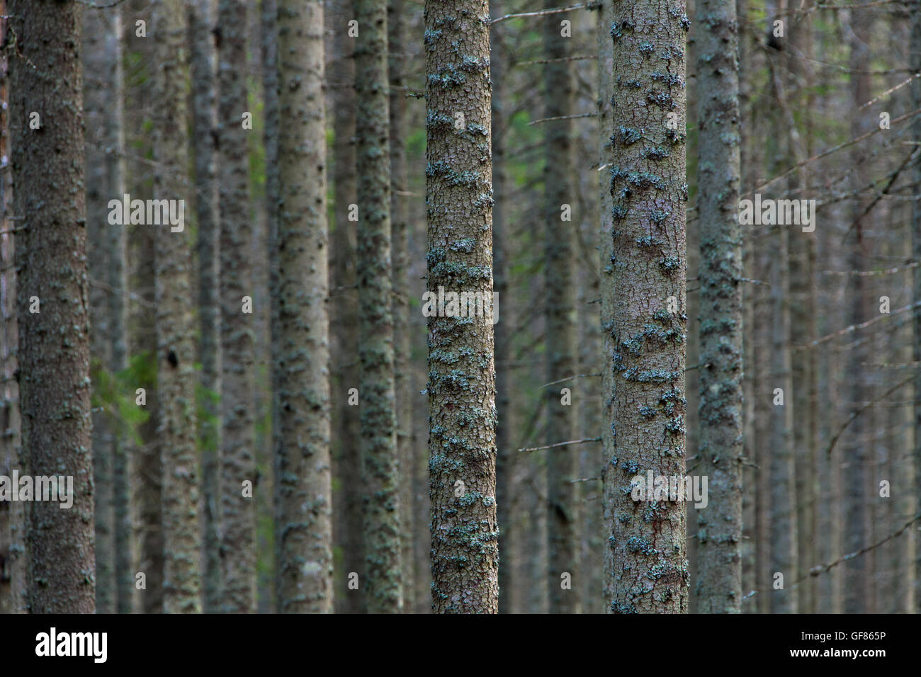 Norway spruces / European spruce (Picea abies) tree trunks covered in lichen in coniferous forest - Stock Image