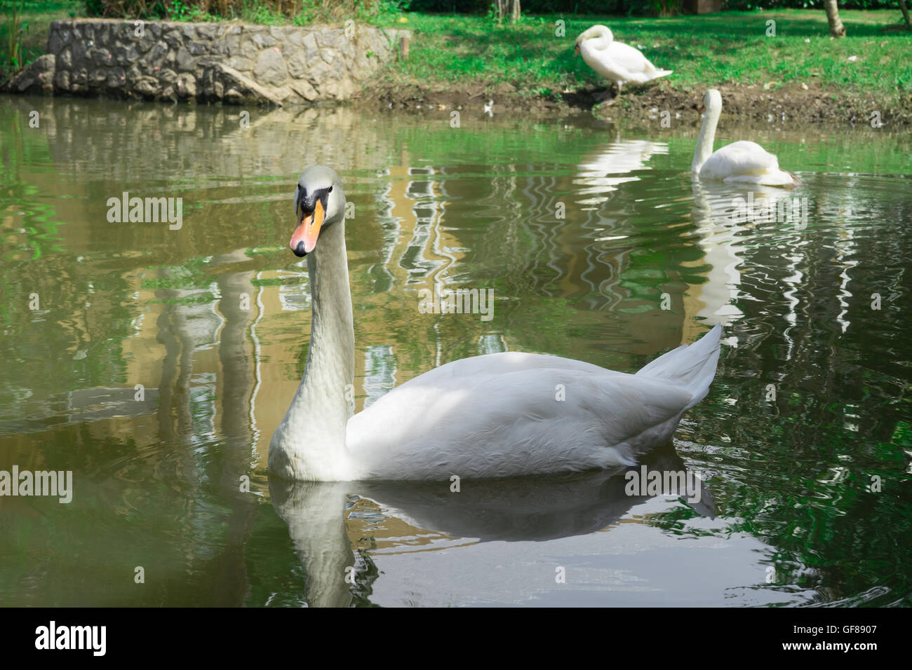 Beautiful young swans in lake Stock Photo
