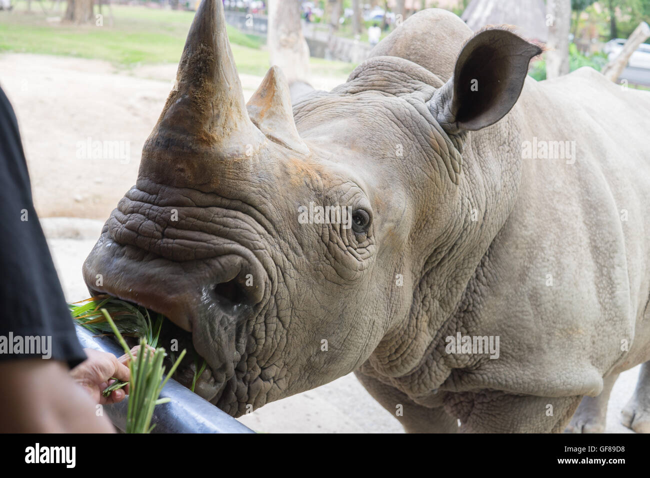 A close up of a female rhino / rhinoceros and her calf. Showing off her beautiful horn. Protecting her calf. South - Stock Image