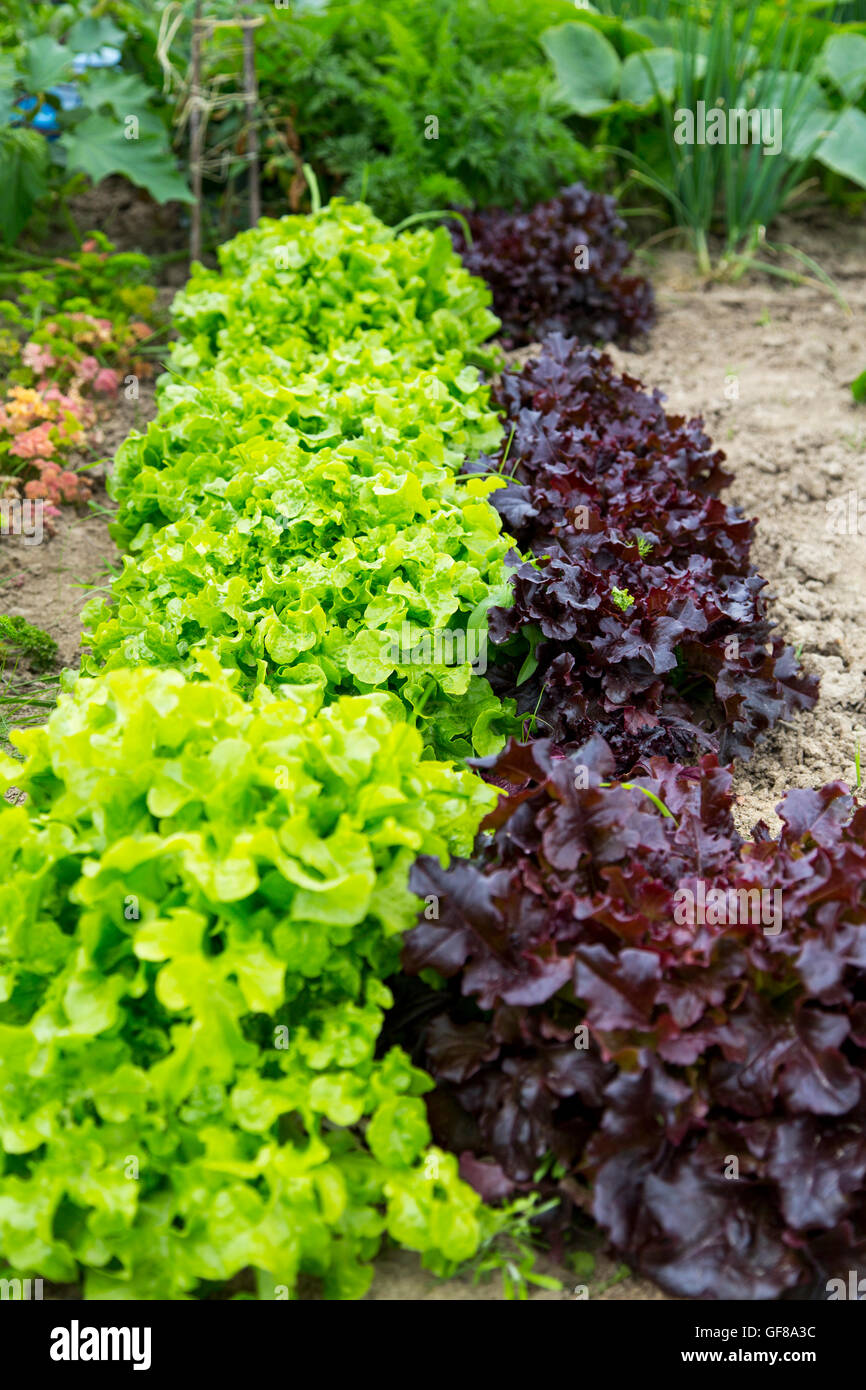 Kitchen garden, allotment, vegetables, salad greens, lettuces in series, - Stock Image