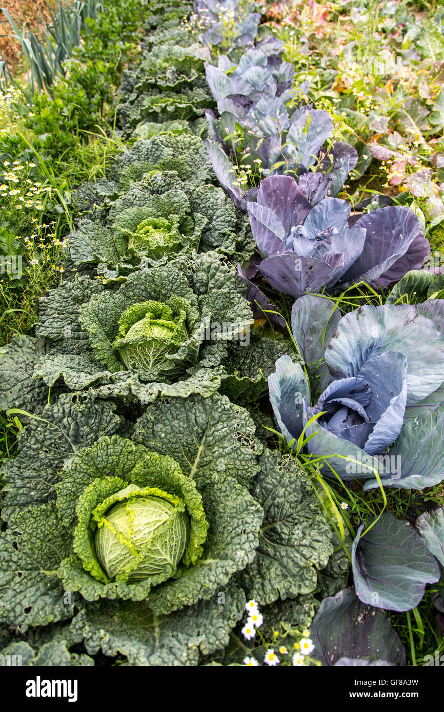 Kitchen garden, allotment, vegetables, cabbage, red cabbage, Stock Photo