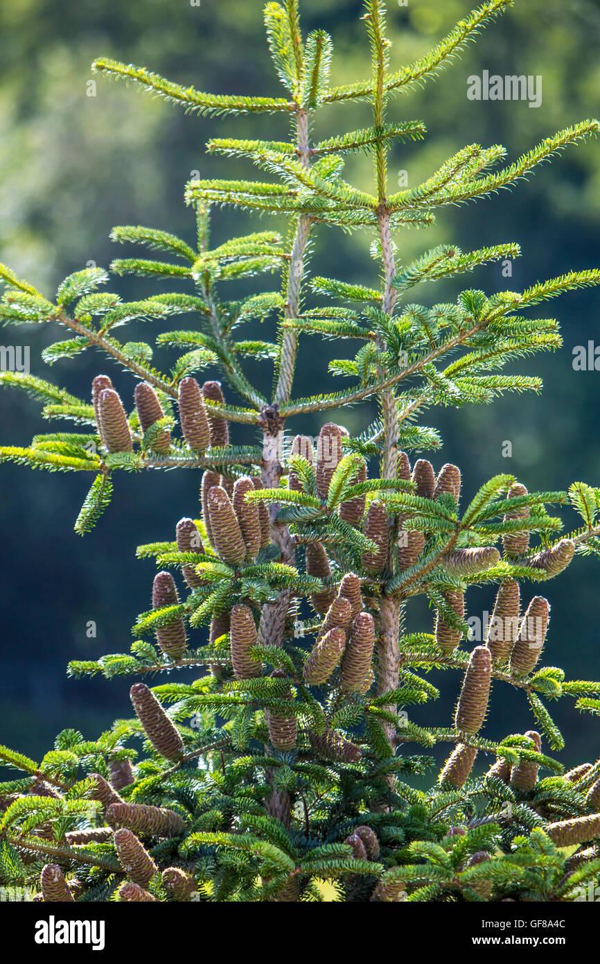 Pine cones grow at the top of a Nordmann fir, Abies NORDMANNIANA, - Stock Image