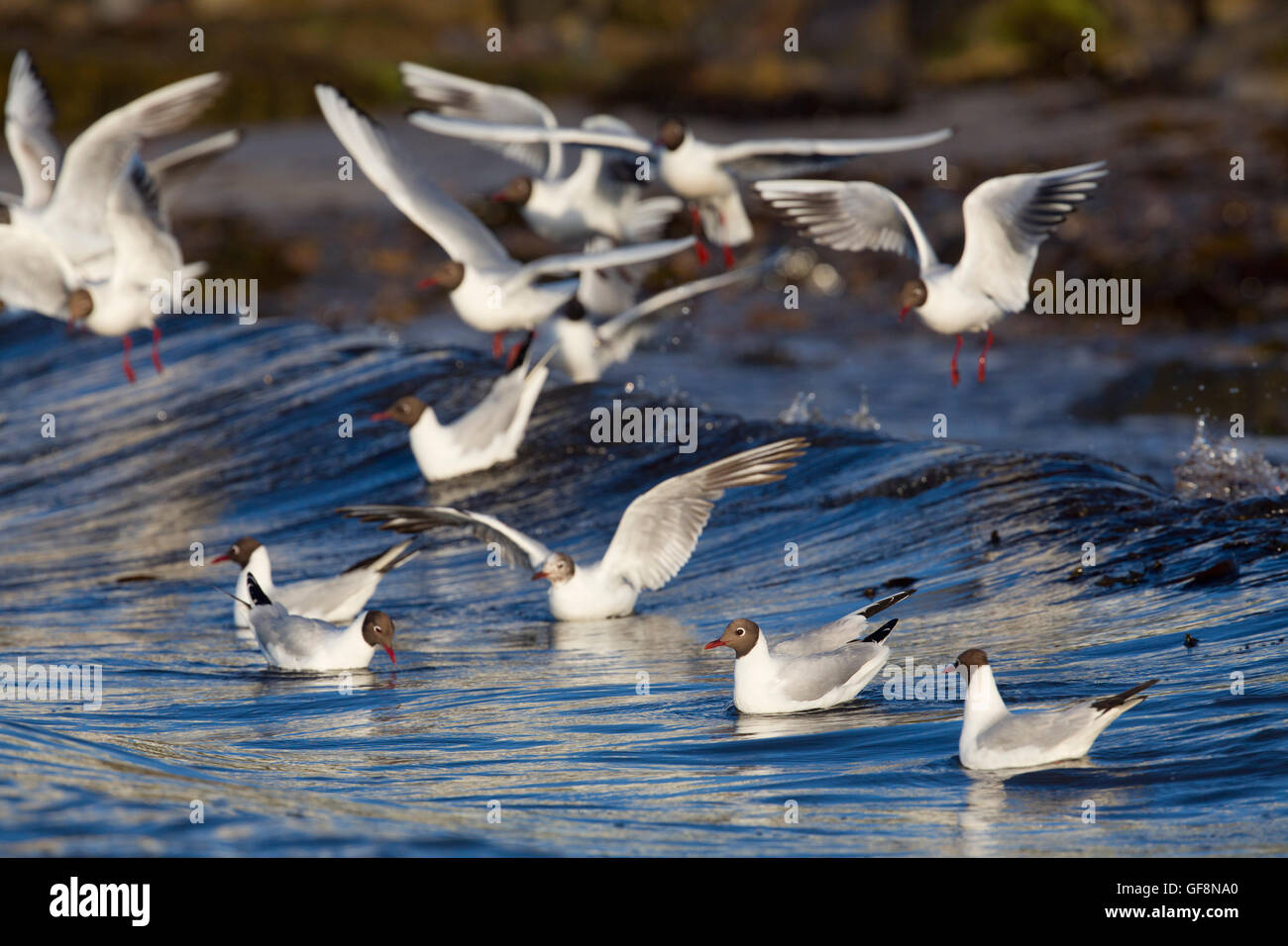 Black Headed Gull; Larus ridibundus Flock Feeding Anglesey; UK - Stock Image
