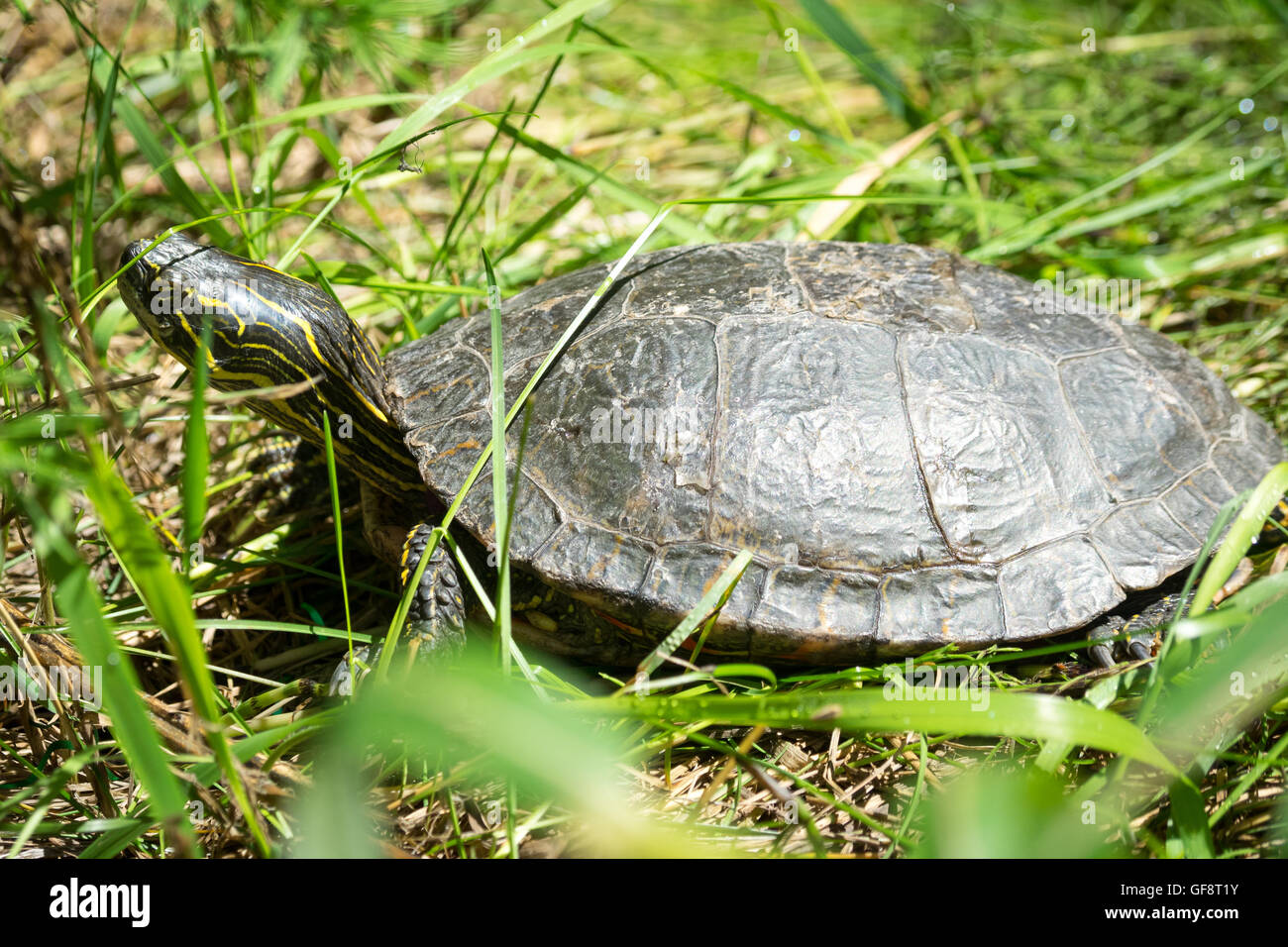 A Western painted turtle (Chrysemys picta bellii), in captivity, at the Calgary Zoo in Calgary, Alberta, Canada. - Stock Image