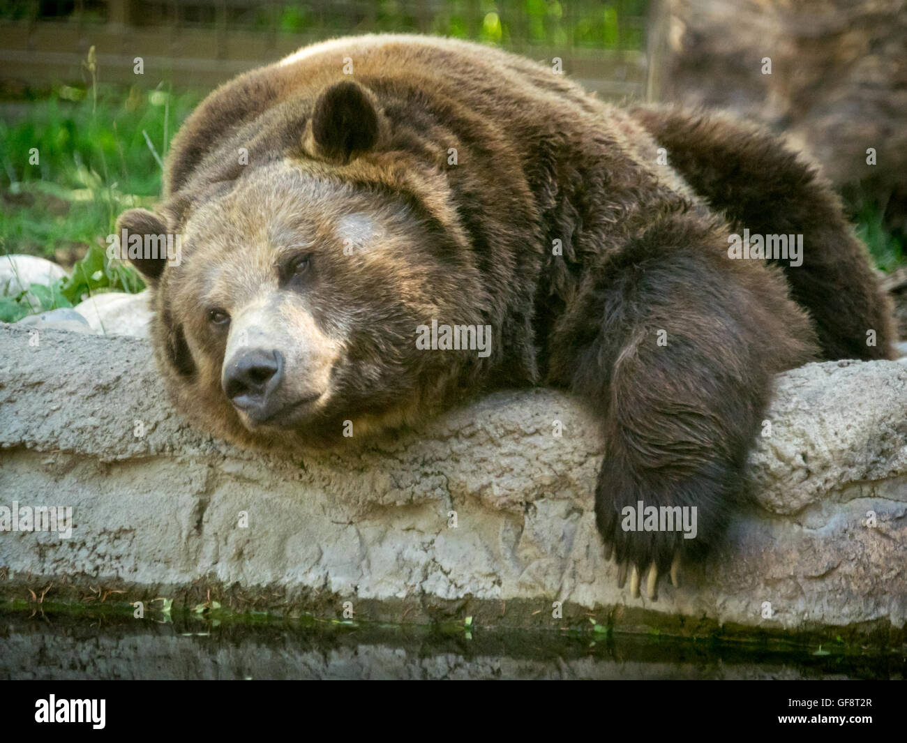 Skoki, a large male grizzly bear, acting lazy at the Calgary Zoo in Calgary, Alberta, Canada. - Stock Image