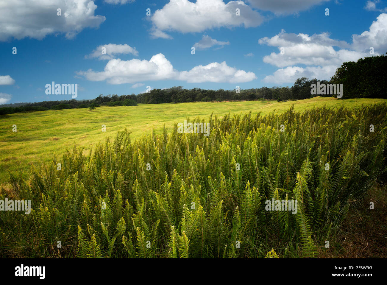 Ferns and grassland. Hawaii Volcanoes National Park, Hawaii Island - Stock Image