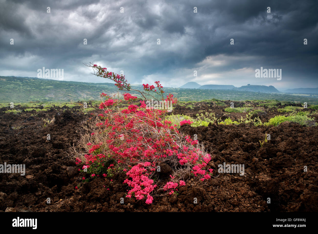 Bougainvillea in AA lava field, Hawaii Volcanoes National Park, Hawaii Island Stock Photo