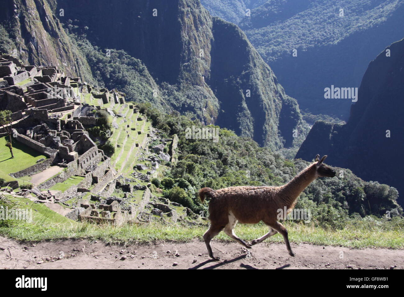 Llama at Machu Picchu, Sacred Valley, Peru - Stock Image