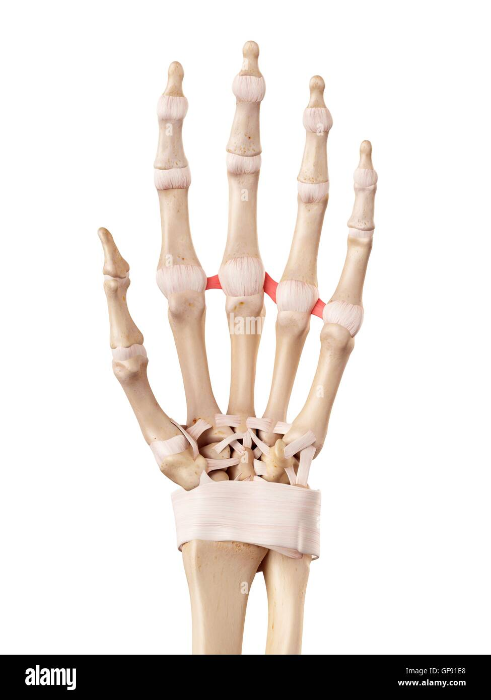 Dorsal Intercarpal Ligaments Stock Photos & Dorsal Intercarpal ...