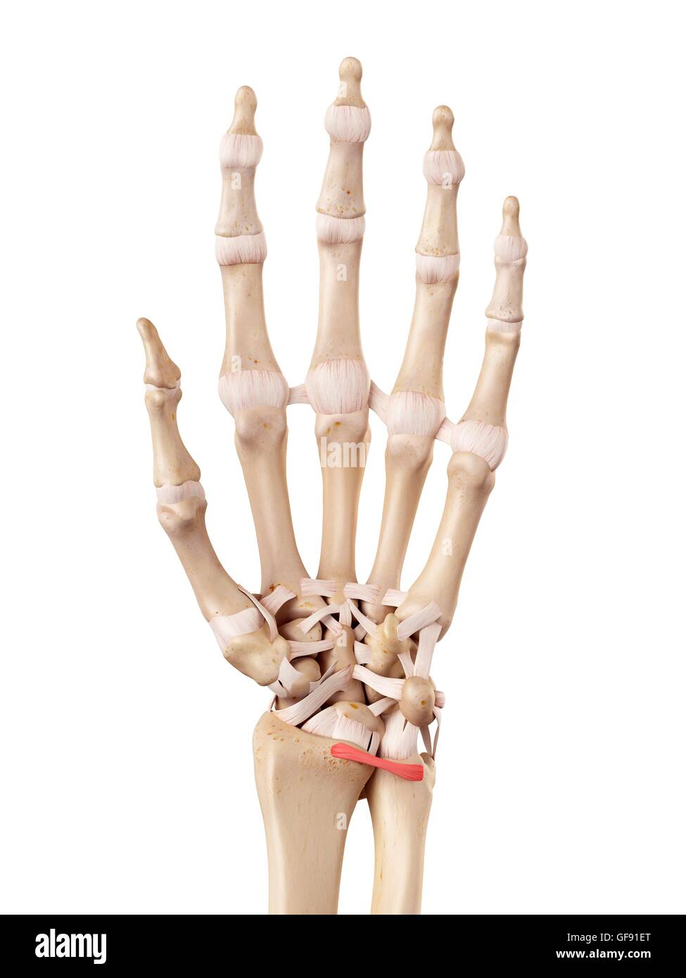 Palmar Ligaments Stock Photos & Palmar Ligaments Stock Images - Alamy
